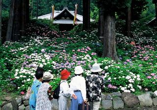 小室山の紫陽花.JPG